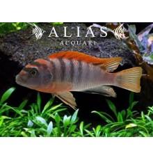 Labidochromis Hongi sweden