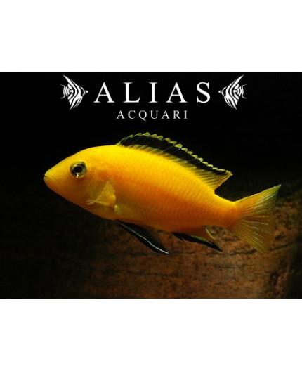 Labidochromis Species yellow Kakusa