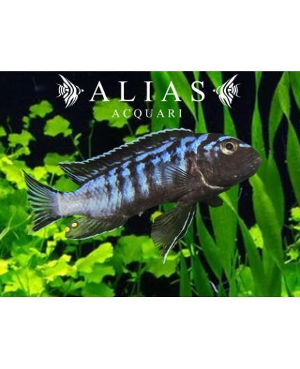 Melanochromis Interuptus