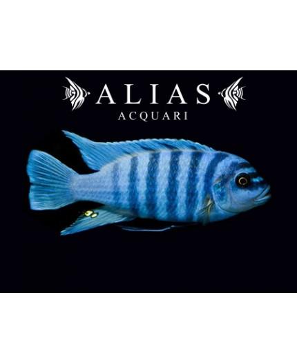 Pseudotropheus Zebra blue + blue