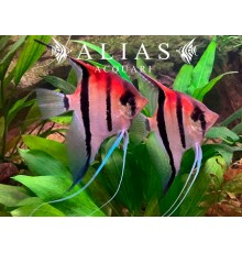Pterophyllum scalare manacapuru super red