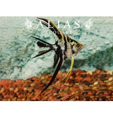 Pterophyllum scalare marble pinne a velo