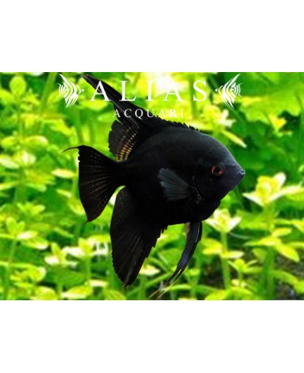 Pterophyllum Scalare Black