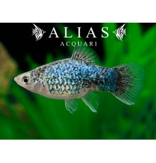 Xiphophorus maculatus calico Blue