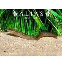 Mastacembelus Armatus