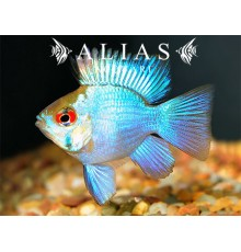 Papiliochromis ramirezi electric blue balloon