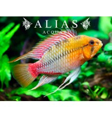 Apistogramma Hongsloi red gold