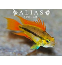 Apistogramma Cacatuoides Orange