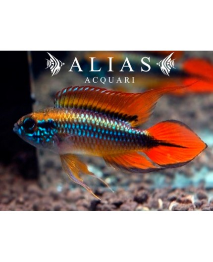 Apistogramma Agassizii Double Red