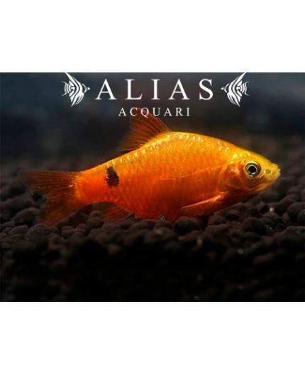 Barbus conchonius gold