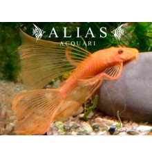 Ancistrus sp. super red long fin