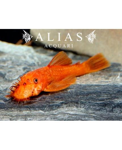 Ancistrus sp. super red