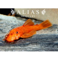 Ancistrus sp. super red
