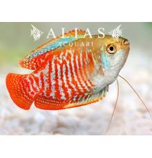 Colisa Lalia rainbow male