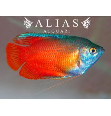 Colisa Lalia blood red male