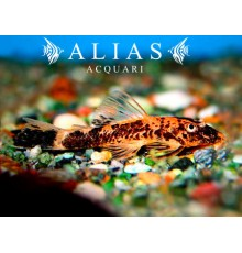 Ancistrus sp. red black