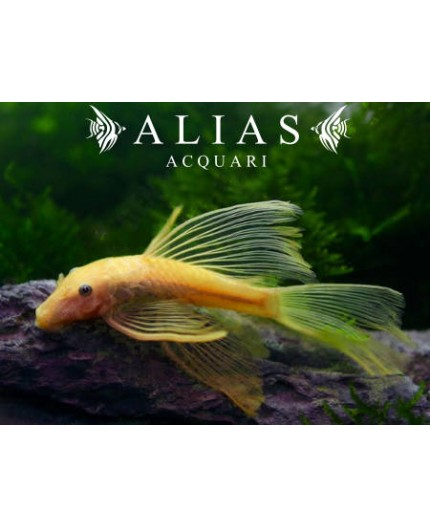Ancistrus sp. Gold Long Fin