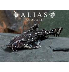 Agamyxis Albomaculatus