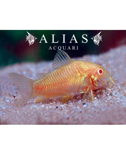Corydoras aeneus neon albin