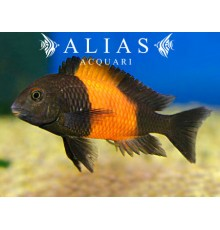 Tropheus moorii «Bemba Orange»