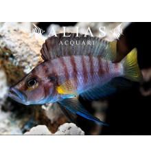 Altolamprologus compressiceps «Sumbu Shell»