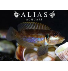 Lamprologus ocellatus «Blue»