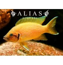 Neolamprologus Heliantus