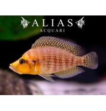 Altolamprologus compressiceps «Mutondwe»