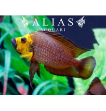 Altolamprologus compressiceps «Gold Head»