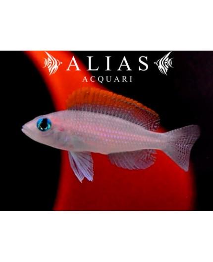 Neolamprologus caudopunctatus «Red Fin»