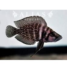 Altolamprologus calvus «Zaire Blackfin»