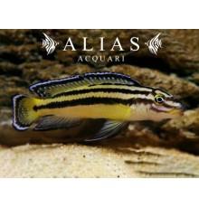 Julidochromis regani «Zambia»