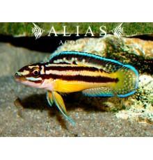Julidochromis regani «Kipili»