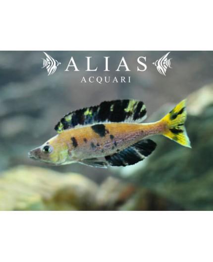 Cyprichromis microlepidotus «Kiriza»