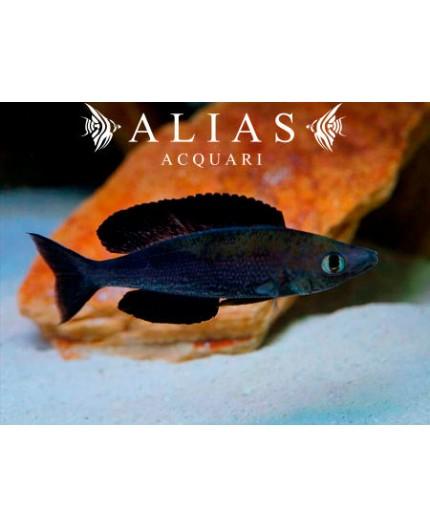 Cyprichromis microlepidotus «Kiriza Black»