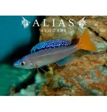 Cyprichromis leptosoma «Mpulungu»
