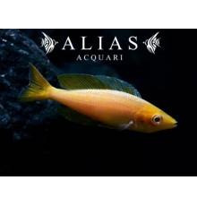 Cyprichromis leptosoma «Gold»