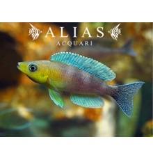 Cyprichromis leptosoma «Kigoma»