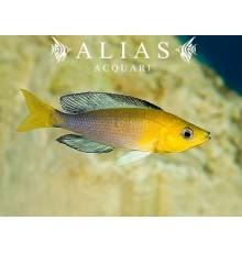 Cyprichromis leptosoma «Jumbo Yellow»