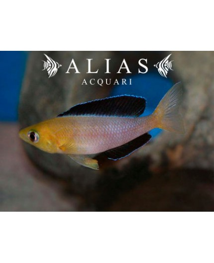 Cyprichromis leptosoma «Jumbo Malasa»
