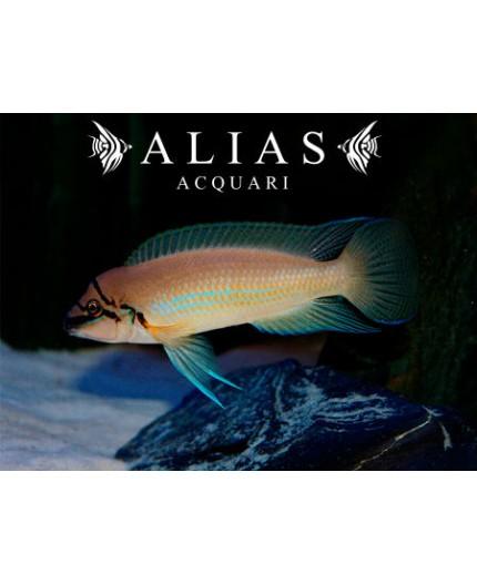 Chalinochromis brichardi