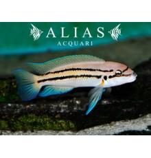Chalinochromis Bifrenatus