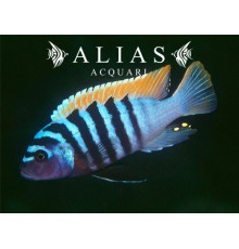 Pseudotropheus Zebra red + blue
