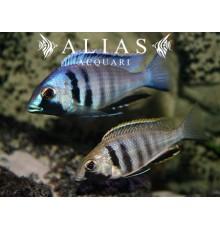 Cyrtocara (Placidochromis) Electra