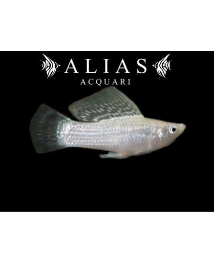 Poecilia velifera silver