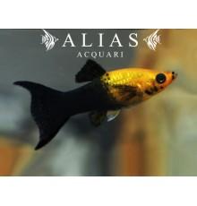 Poecilia sphenops gold black lyra molly
