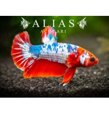Betta Plakat Fancy (Male)