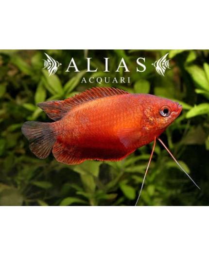 Colisa chuna red