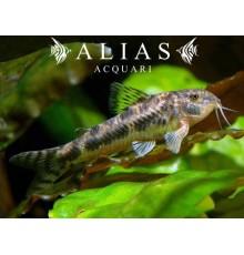 Aspidoras Spilotus