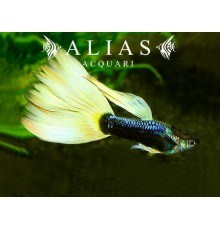 Guppy maschio Half Black Yellow Delta